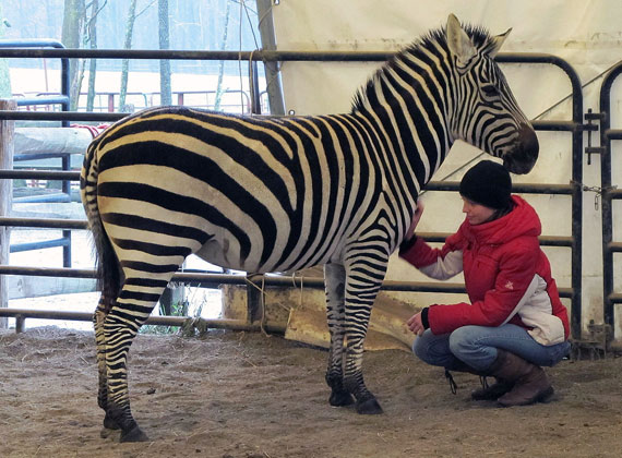 Case Western Reserve University social work graduate student Lauren Burke learned a new form of horse therapy, with Jacalyn Stevenson, founder of the Spirit of Leadership program in Novelty, Ohio. Burke became a human member of the horse herd that also include Holly, the zebra.