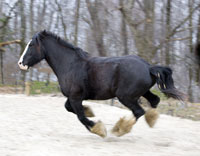 Clydesdale mare be is the lead mare at Spirit of Leadership.
