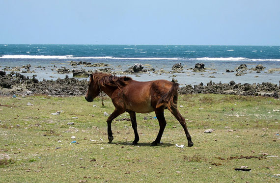 A wild horse on Delft Island off Sri Lanka.