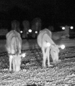Night moves: the donkeys are now more visible to motorists at night.