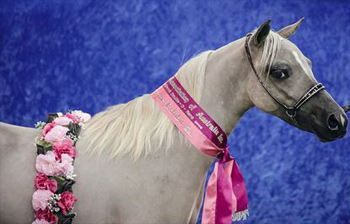 One of the six miniature horses killed in Australia.
