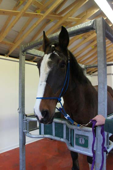Trojan stands in the new stocks at The Horse Trust to see the vet after his surgery. Photo: The Horse Trust
