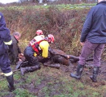 Ears is pulled to safety from the water-filled ditch.