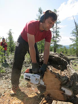 Annual tree rings vary in relation to moisture and temperature, and can be read like a book. Study co-leader Neil Pederson takes a cross section from a dead tree that may be well over 1000 years old. Photo: Kevin Krajick, The Earth Institute, Colombia University