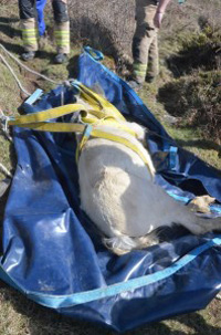 A sedated Goldie on the move. Photo: RSPCA