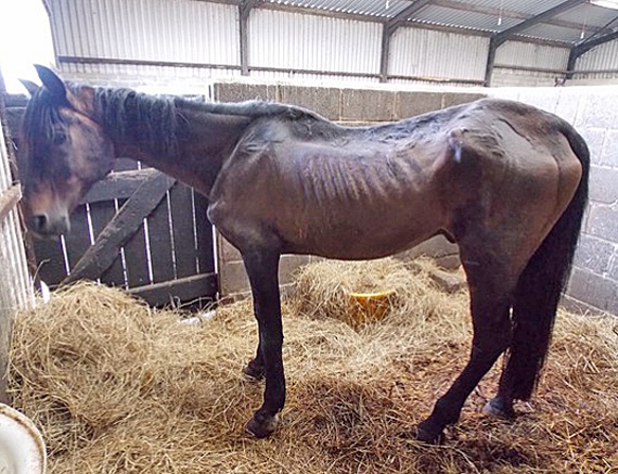 The bay stallion failed to respond to treatment and was euthanised on veterinary advice. Photo: British RSPCA