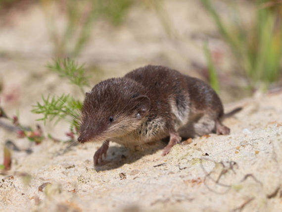 The bicoloured shrew, Crocidura leucodon, is a reservoir for a virus that invariably proves fatal in horses. Photo: University of Veterinary Medicine Vienna