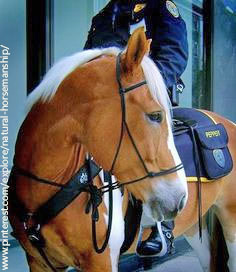 A barefoot and bitless Houston Mounted Patrol horse.