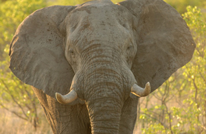 Even though an elephant's bladder is a massive 18 liters, they still relieve themselves in about the same time it takes smaller animals.