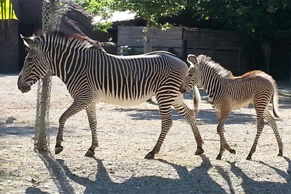 Makena leads Tiombe around the Saint Louis Zoo's  Red Rocks area.