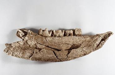 The jaw of a woolly rhinoceros.