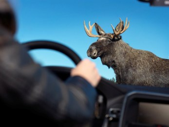 A driver's worst nightmare. Volvo is working on technology to reduce animal collisions.