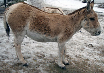 An onager, (Equus hemionus kulan, the Turkmenian kulan). pictured at Korkeasaari Zoo.