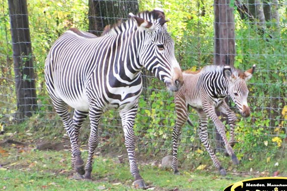 Southwick's Zoo new Grevy's Zebra foal and mum.