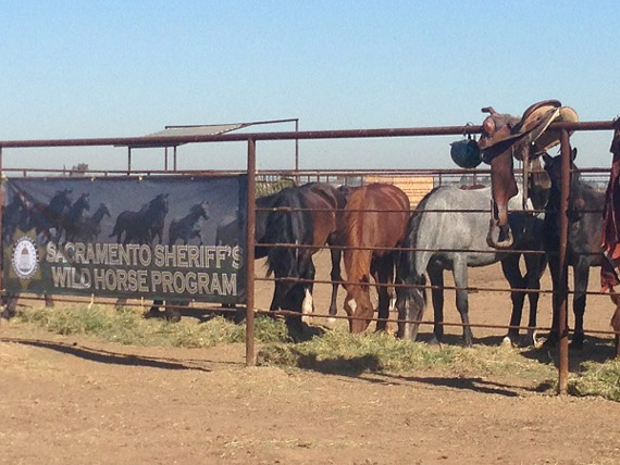 Twenty mustangs are the first to join a new wild horse training program at a Sacramento correctional center.