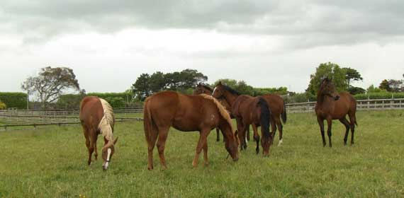 Yearlings fillies used in the study at pasture.