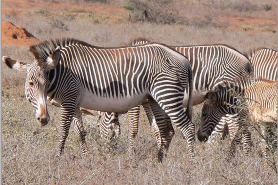 Kenya is home to most of the world's Grevy's zebras that still inhabit the wild.
