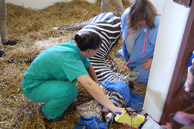 Nurses with Zippy after his hoof had sloughed off.
