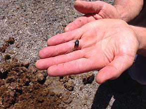 Sustainable land care and dung beetles go hand-in-hand, say Horse SA.