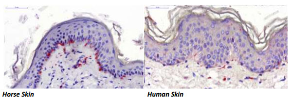 A special staining technique called immunohistochemistry allowed Dr Lydia Tong to specifically stain up only nerve endings. In this case they have been stained a bold red. There are more nerve endings in the horse skin than the human skin, including in the epidermis (the layer on top with all the blue circles). These represent sensory fibres, including those which feel pain, she said. Photos: Lydia Tong's report