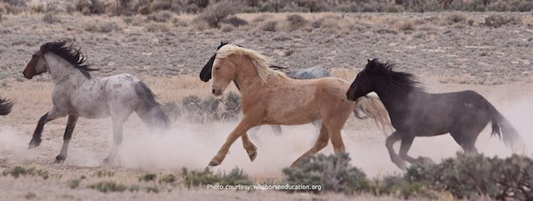 Fish Creek stallions are returned to their home range. Photo: Laura Leigh/Wild Horse Education