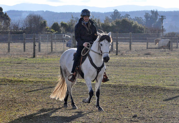 The incidence of the DMRT3 gene in the Paso Fino breed is nearly 100%.