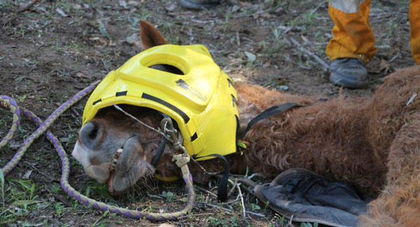 A padded hood prevents injury to the horse's head during the rescue and while it recovers from anaesthesia. This horse was successfully rescued from a gully. Photo: Image: Adam Holmes/Australian Journal of Emergency Management