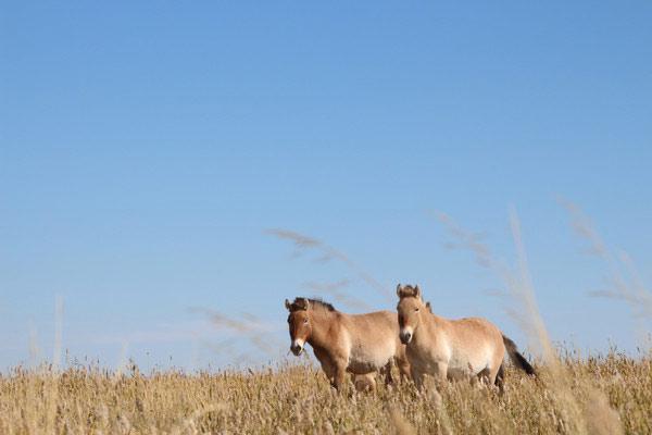 Przewalski horses at an oasis in the Mongolian Gobi desert.