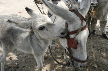 Spotting signs of pain and clinical problems in donkeys is always difficult as they tend to 'suffer in silence'. © The Brooke