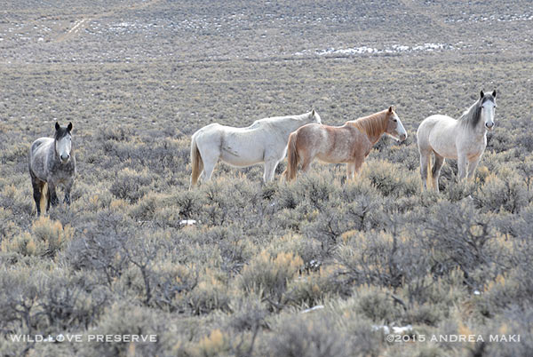Wild horses in the high desert of Idaho.