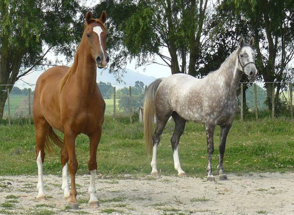 The gelding Delights Tardis (Ranaarb x Durdan Tinderbox/Dellmount Santea) and the mare Delights Siren (Ranaarb x Rowallan Classic Sireen/Wagga Ambassador), who were exported to Presco Endurance Stables in Malaysia.