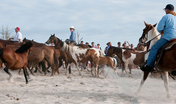 The famous Saltwater Cowboys round up the Chincoteague ponies on Assateague Island and walk them down the beach at sunrise. Photo: Bonnie U. Gruenberg [CC BY-SA 3.0] via Wikimedia Commons