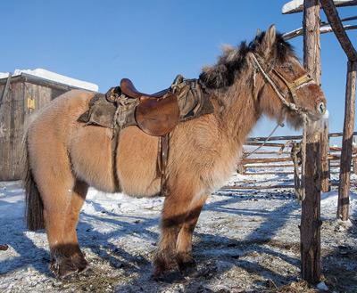 A Yakutian horse.