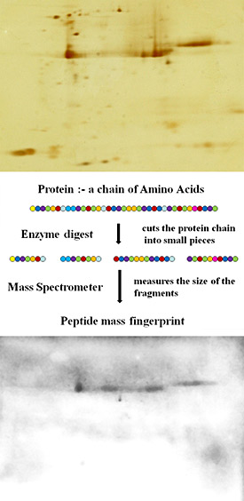 When the proteins in midge saliva are separated in a polyacrilamide gel according to their size and acidity, the individual proteins form spots like those seen in the top picture. Proteins are made up of long chains of amino acids, like a string of beads. To identify the proteins each spot is punched out of the gel and the amino acid chain is cut into pieces. The size of the bits is always the same and this can be measured by a mass spectrometer. The result is called a peptide mass fingerprint which uniquely identifies each protein. The bottom picture shows midge saliva proteins that have been separated in a gel then stained with IgE antibody from a horse with sweet itch. In this process the darker grey smudges show where IgE has bound to some of the midge proteins, indicating that they are the ones to which this horse is allergic.