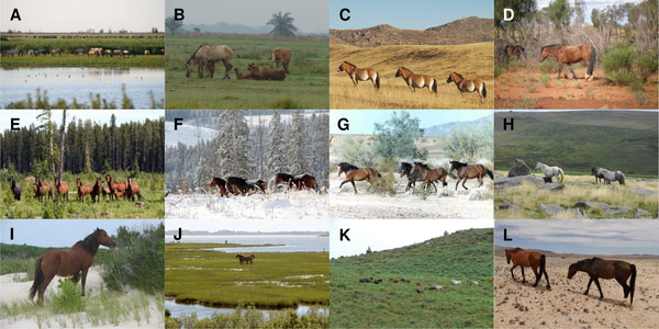 E. ferus in a range of different habitats. Feral E. ferus inhabit areas worldwide with a wide range of habitats and climates, including Oostvaardersplassen, the Netherlands (A) (Credit: Eva Maria Kintzel and I Van Stokkum); tropical wet and dry seasons in Los Llanos, Venezuela (B) (Credit: Victor Ros Pueo); the Mongolian steppe in Hustai National Park, Mongolia (C) (Credit: Usukhjargal Dorj, Hustai National Park); the deserts of central Australia, western North America and Namibia (D; G; L) (Credit: Pernille J. Naundrup; Bureau of Land Management, USA; Telane Greyling); logged forests and snow covered winters in Alberta, Canada (E-F) (Credit: Bob Henderson); moorlands in Dartmoor, England (H) (Credit: Mark Robinson); feeding in the sand dunes and saltmarshes at Assateague Island, Maryland and Virginia, USA (I-J) (Credit: National Park Services, USA; Fritz Geller-Grimm, CC BY-SA 2.5); and in the mountains of Galicia, Spain (K) (Credit: Victor Ros Pueo).