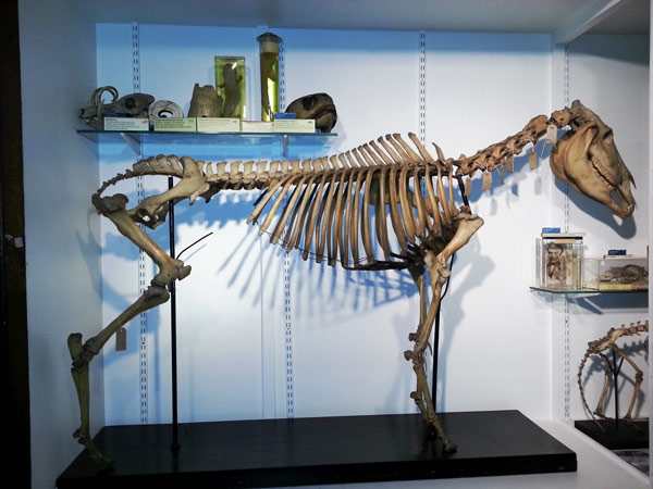 The rearticulated and restored quagga skeleton before the fourth leg was fitted.