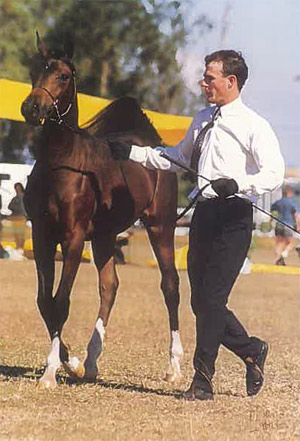 Starglen Sensacion (Arabian Lodge Boragh x Santarabia Fame) as a young horse.