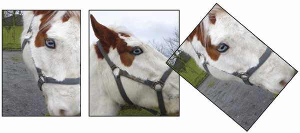 Remarkable eye ability: These images show that a horse can rotate its eyes so that its horizontal pupils remain paralel with the ground when they lower their head to graze. In the image at right, the researchers rototed the picture to bring the head back to horizontal, showing how the pupil has rotated. Photos: Martin Banks, UC Berkeley