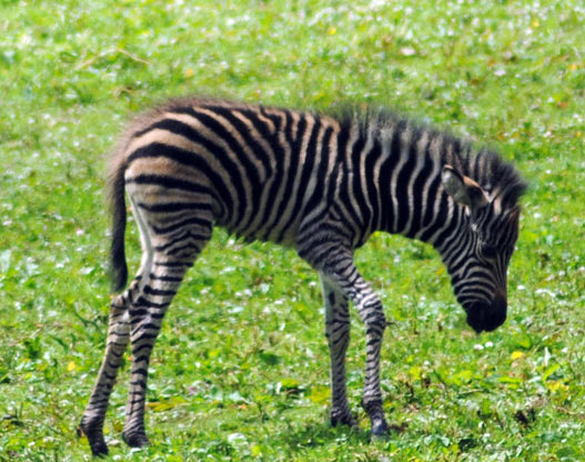 Megan was the first Chapman's Zebra foal born at Newquay Zoo.