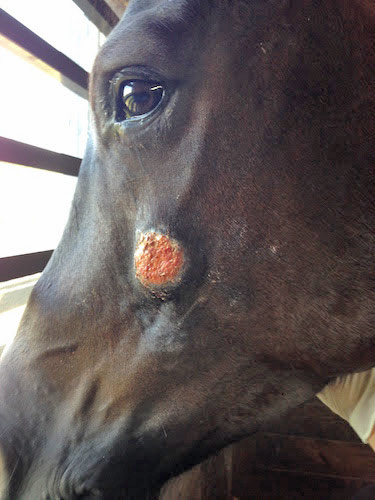 Summer sores are lesions on the skin caused by the larvae of equine stomach worms Habronema.