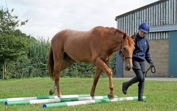 Hall Farm groom Emma Sawyers works with OTTB Alfie, who is looking for a new home to help continue his rehabilitation.