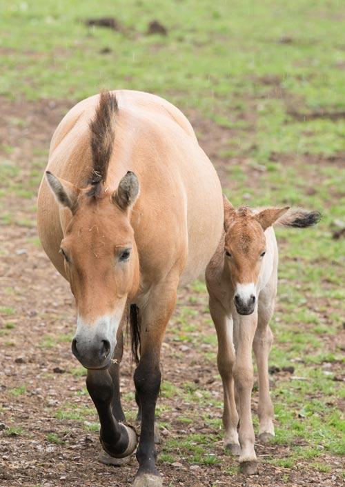 Port Lympne Reserve's new Przewalski's foal.