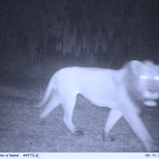 A motion-activated trail camera takes a photo of a lion at Gorongosa National Park, Mozambique.