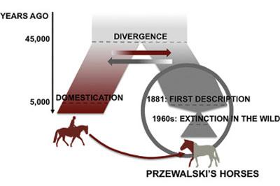 przewalskis-graphic