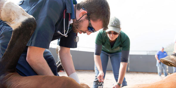Senior veterinary student Ryan Brock conducts surgery as Katlin Hornig stands by with instruments during a daylong clinic providing castration surgery to 23 stallions at Dumb Friends League Harmony Equine Center.