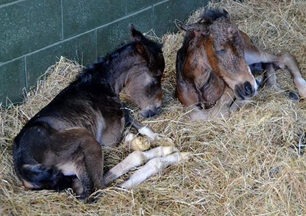 Poppet and Fudge at 10 minutes old.