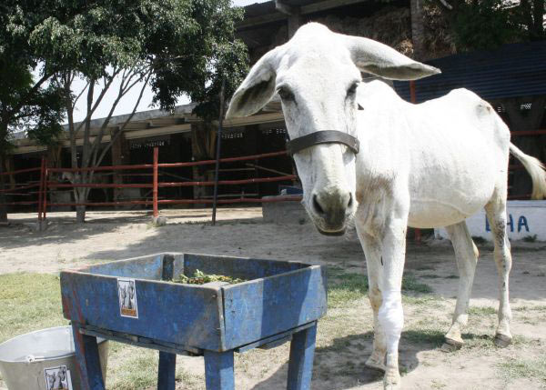 """Giving a """"virtual gift"""" of just $54 could help an old Brick Kiln Donkey, who are cared for by the Brooke and offered a home in a static veterinary hospital while recuperating."""