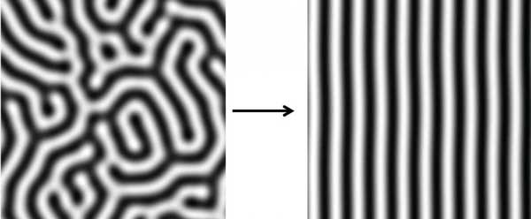 This image shows simulations of what are known as Turing stripes. On the left, stripes are evenly spaced, but their direction is variable. On the right, a signaling gradient has made the stripes align in the same direction. Image: Tom Hiscock