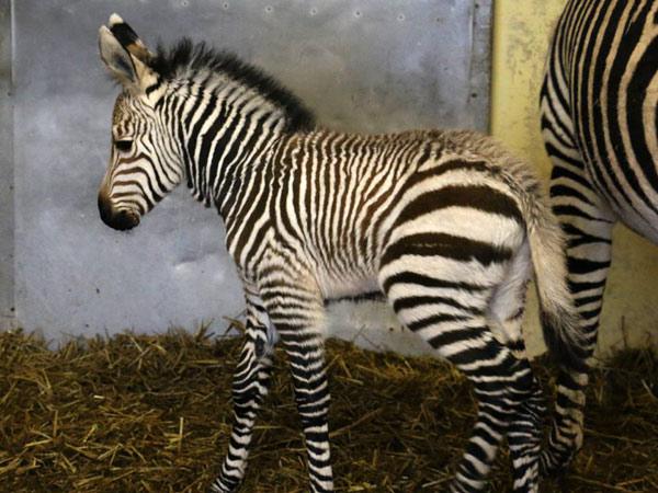 Blackpool Zoo's latest Hartmann's mountain zebra arrival was born on December 11.