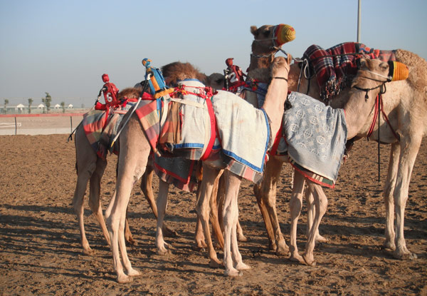 Camels awaiting their morning training, some with tiny robotic jockeys on board.